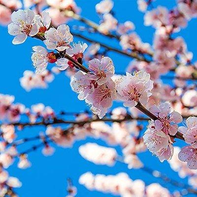 Flowering Japanese Cherry Brilliant