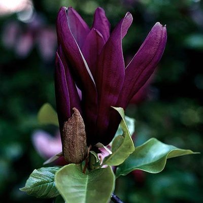 Magnolia x brooklynensis Black Beauty