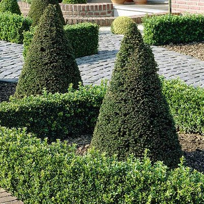 Taxus baccata (Yew) topiary pyramid 70cm tall 26cm pot