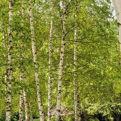 Betula pendula, Silver Birch