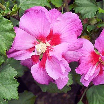 Hibiscus Walbertons Rose Moon