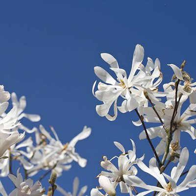 Magnolia stellata in a 9cm Pot