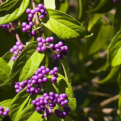 "Callicarpa ""Profusion"" (Beauty Berry) plants - set of 3 in 9cm pots"