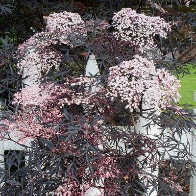 Sambucus nigra Black Lace - Black Elderberry