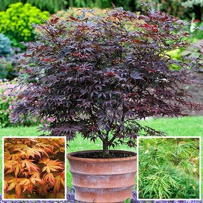 Japanese Maple Acer Collection