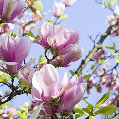 Magnolia soulangeana 3L pot