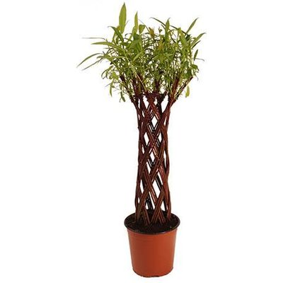 Harlequin Living Willow Sculpture 60cm tall easy to grow M60-07
