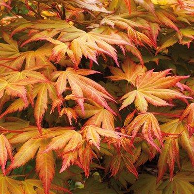 Acer palmatum Orange Dream 3L