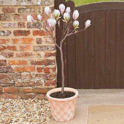 Magnolia Leonard Messel Standard
