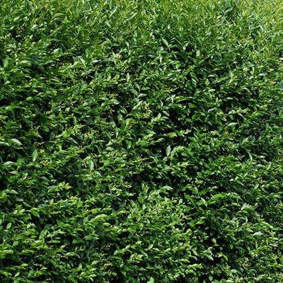 Hedging Ligustrum ovalifolium (Privet) 60-80cm 2L potted