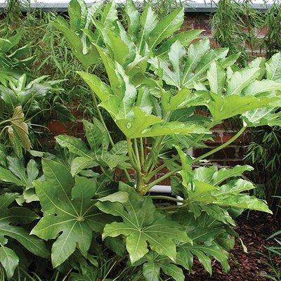 Castor Oil Plant Fatsia japonica