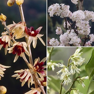 Winter Flowering Fragrant Shrub collection - 3 plants in 9cm pots