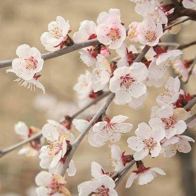 "Prunus incisa ""Kojo-no-Mai"" (Fuji Cherry Tree) in 2L pot"