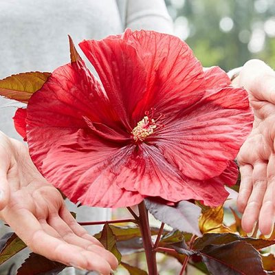 Hibiscus mos. Carrousel Geant Red C2