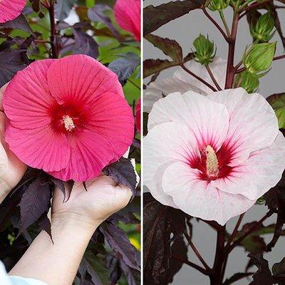 Hibiscus moscheutos Giant Flowered pair 2 x 2L