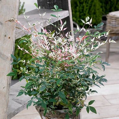 Nandina Twilight 3L