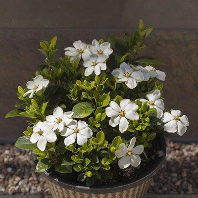 Gardenia Kleims Hardy