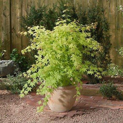 Acer palmatum Summer Gold 13cm