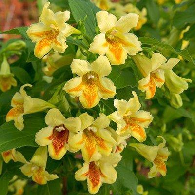 Weigelia middendorffiana Mango 3L