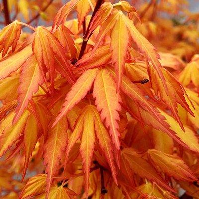 Acer palmatum Katsura 2L