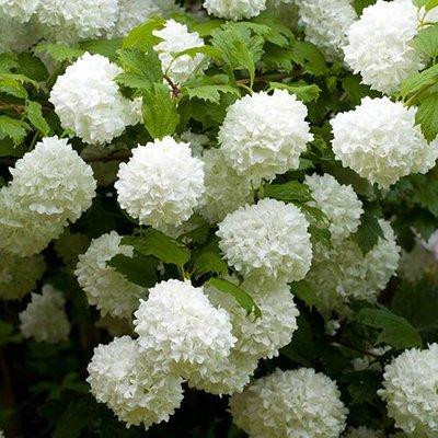 Viburnum opulus Roseum Snowball Tree