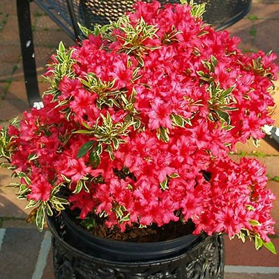 Variegated Rhododendron Bollywood 3L