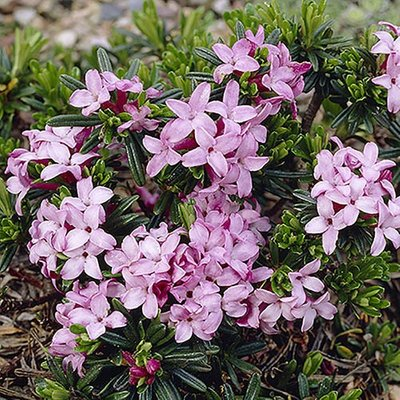 Daphne Pink Fragrance