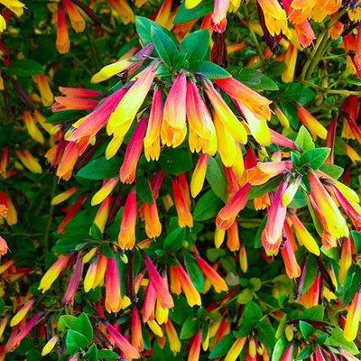 Jacobinia pauciflora, Justicia rizzinii Brazilian Fuchsia