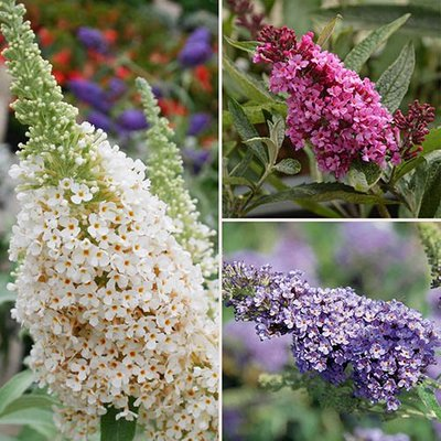 Buddleia Buzz Butterfly Bush