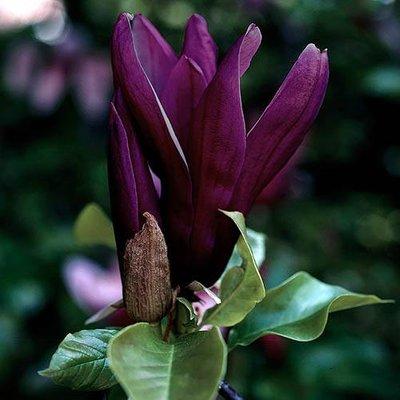 Magnolia Genie in 14cm Pot