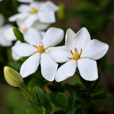 Gardenia jasminoides Sweet Heart 9cm
