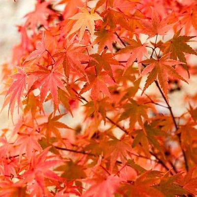 Japanese Maple, Acer palmatum Phoenix