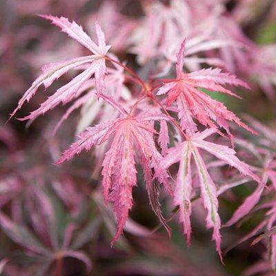 Japanese Maple, Acer palmatum Extravaganza