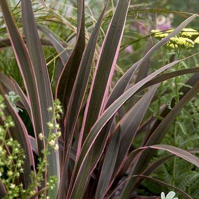 Flax Lily Phormium tenax Sundowner