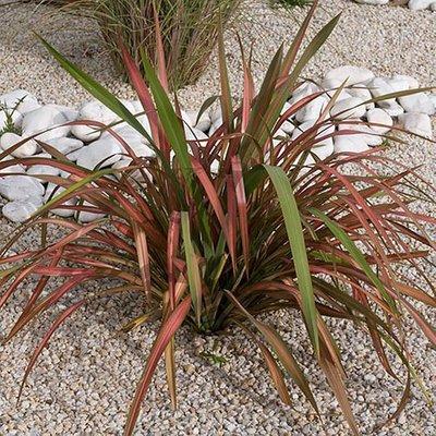New Zealand Flax Phormium Jester