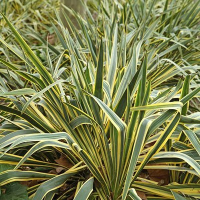 New Zealand Flax Phormium Golden Ray