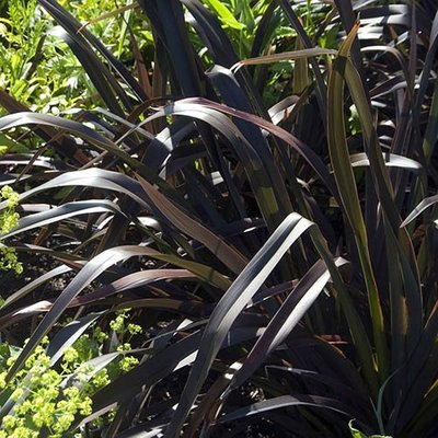 New Zealand Flax Phormium Platts Black