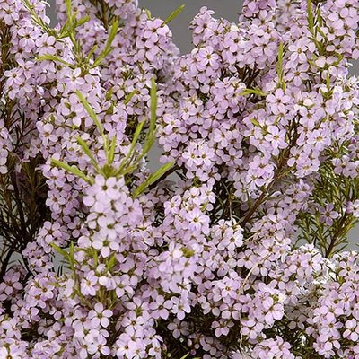 Breath of Heaven Diosma erioides Pink Fountain
