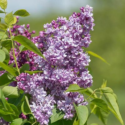 French Lilac Syringa vulgaris