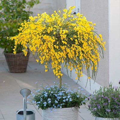 Broom Cytisus Golden Tears Standard
