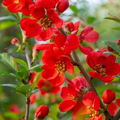 Flowering Ornamental Quince Chaenomeles x superba Orange Trail