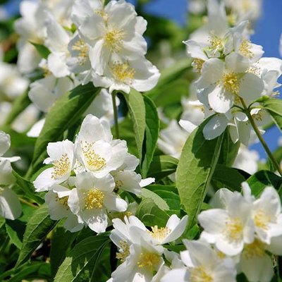 Philadelphus coronaria (Mock Orange)