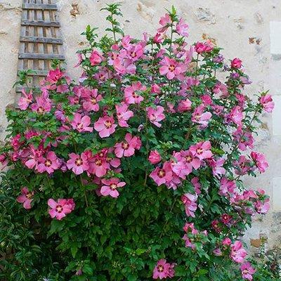 Hibiscus syr. Woodbridge 9cm