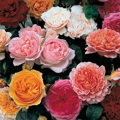 Old English Shrub Rose Collection x 5 b/r