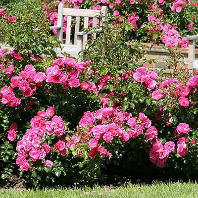 Groundcover Rose plant