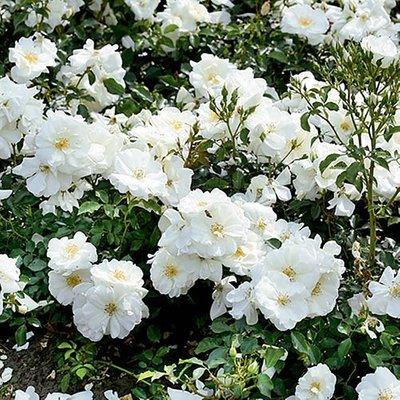 Groundcover Rose bush