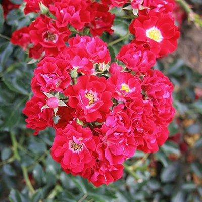 Climbing Rose Rambling Rosie