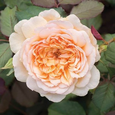 Old English Shrub Rose Apricot bare root