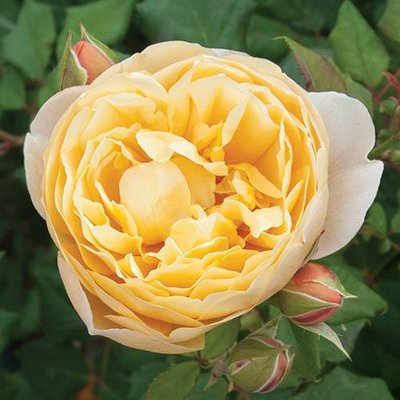 Old English Shrub Rose Yellow bare root