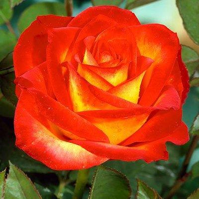 Rose Alinka